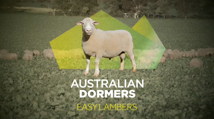Australian Dormers